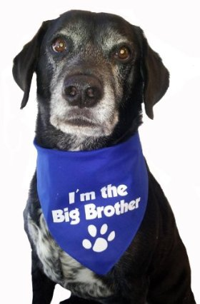 BANDANA – I'm the Big Brother for Medium to Large Dogs – Royal Blue