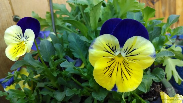 I love pansies!