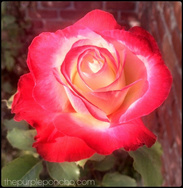 Double Delight Rose by The Purple Poncho