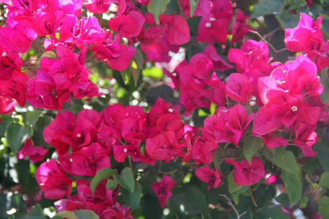 Pink Bougainvillea by The Purple Poncho