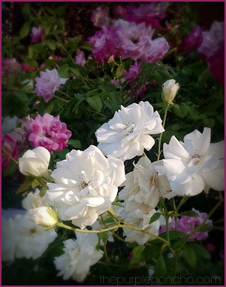 Pink & white roses by The Purple Poncho