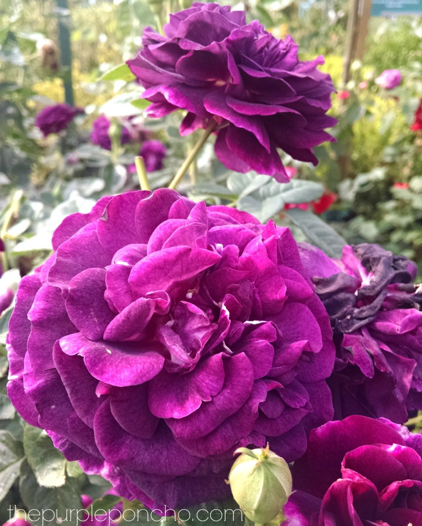 Twilight Zone Rose by The Purple Poncho