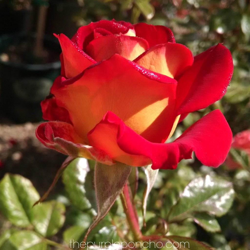 Ketchup & Mustard Rose by thepurpleponcho.com