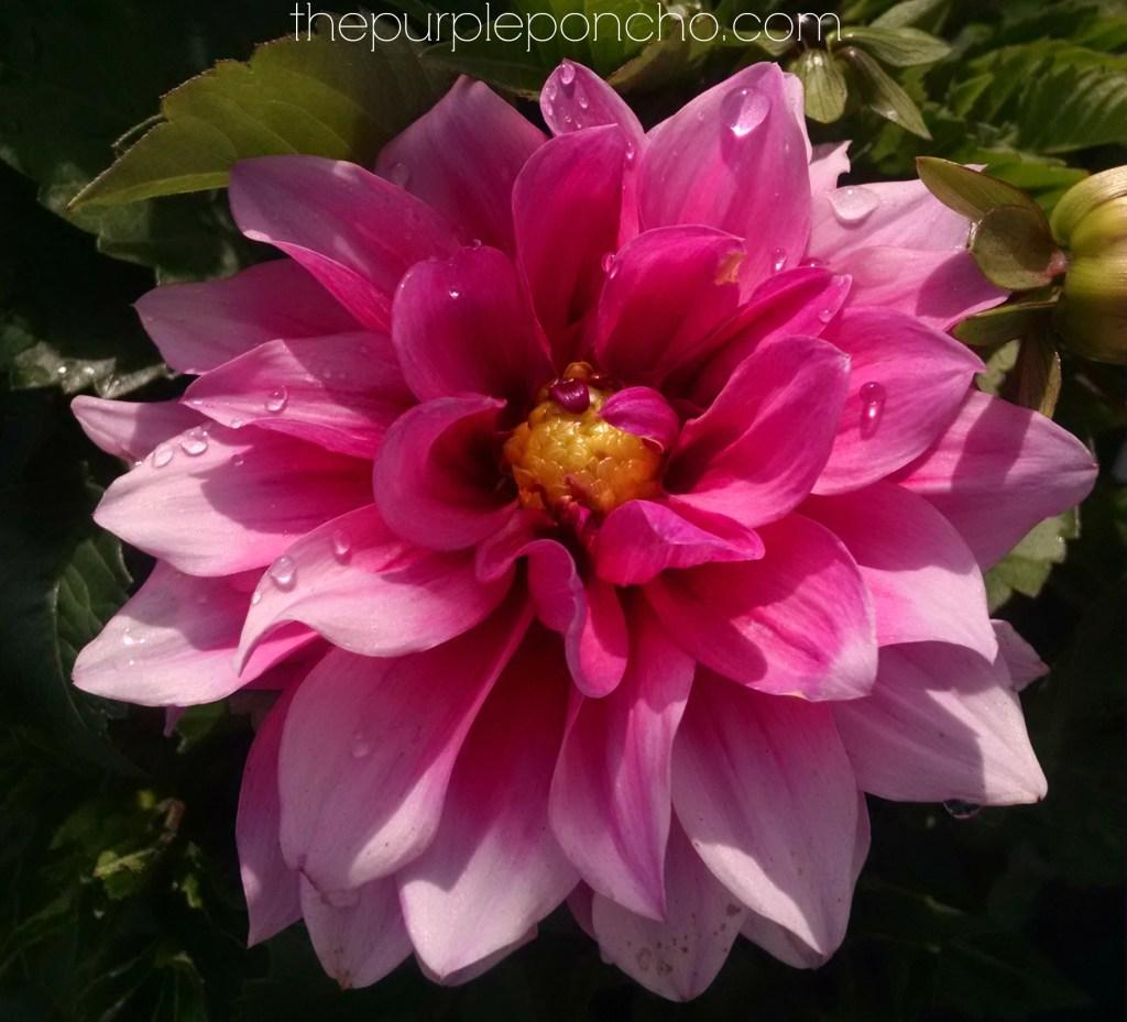 Pink Dahlia by thepurpleponcho.com