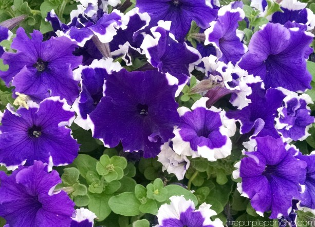 petunias-by-the-purple-poncho