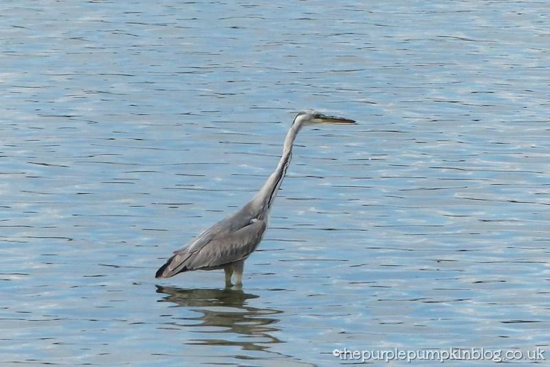Hanningfield Reservoir Essex - Grey Heron