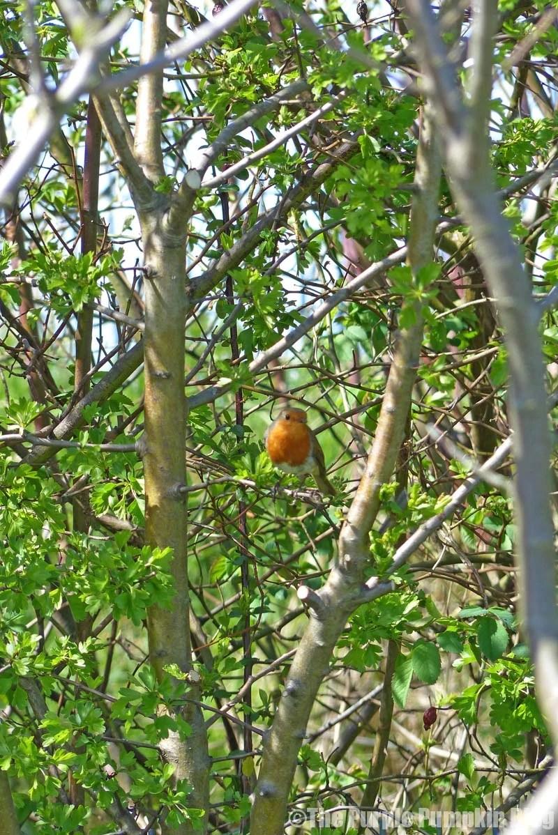 Rainham Marshes RSPB Nature Reserve - Robin