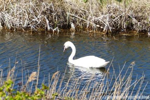 Rainham Marshes RSPB Nature Reserve - Swan