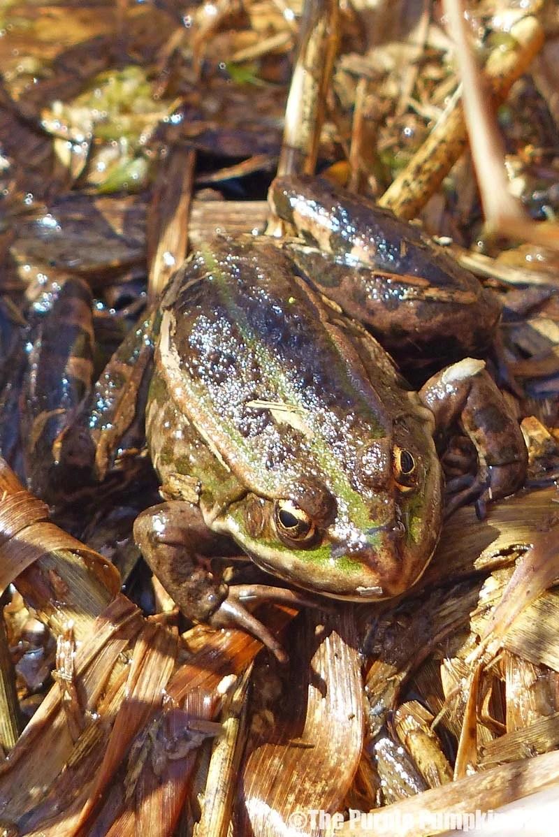Rainham Marshes RSPB Nature Reserve - Frog