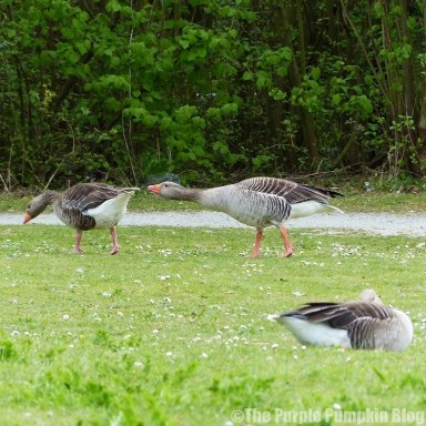 Chafford Gorges Nature Park Essex - Greylag Geese