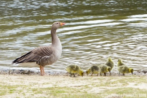 Chafford Gorges Nature Park Essex - Greylag Geese and Goslings