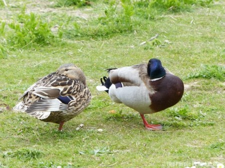 Chafford Gorges Nature Park Essex - Mallard Ducks