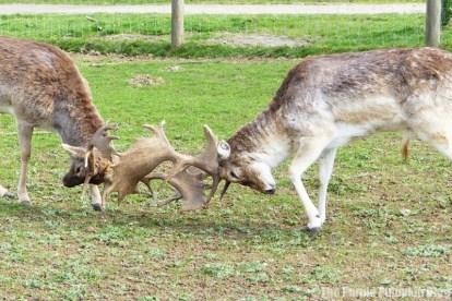 Deers Rutting