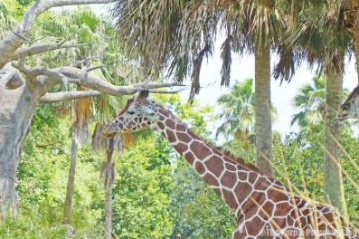 Giraffe - Kilimanjaro Safaris at Animal Kingdom