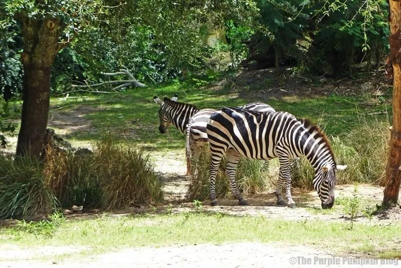 Grant's Zebra - Kilimanjaro Safaris at Animal Kingdom