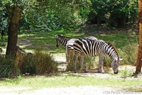 Grants Zebra - Kilimanjaro Safaris at Animal Kingdom