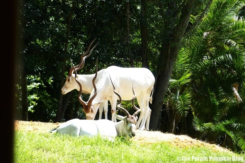 Addax - Kilimanjaro Safaris at Animal Kingdom