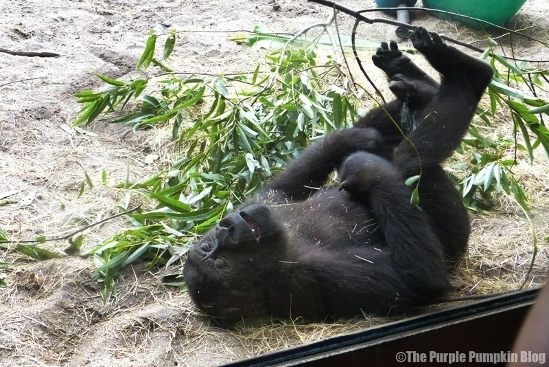 Baby Gorilla at Disney Animal Kingdom
