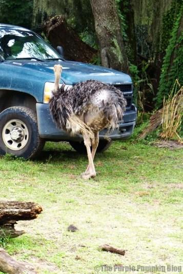Ostrich at Animal Kingdom