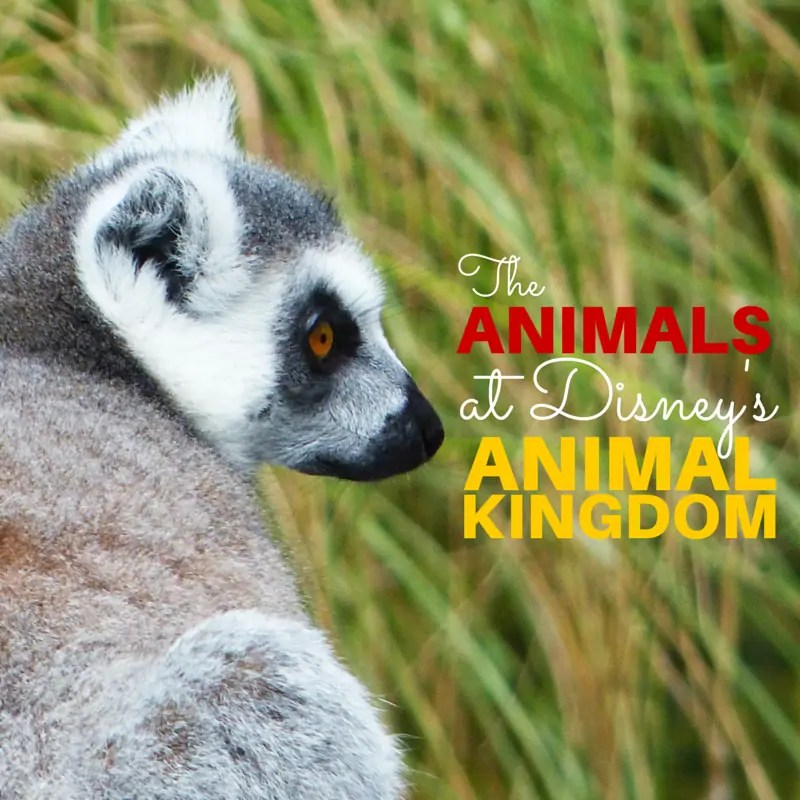 The Animals at Disney's Animal Kingdom