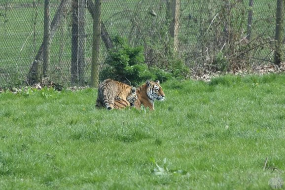 Amur Tiger - Woburn Safari Park