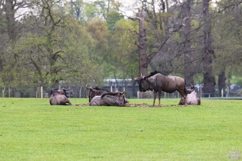 Blue Wildebeest - Woburn Safari Park
