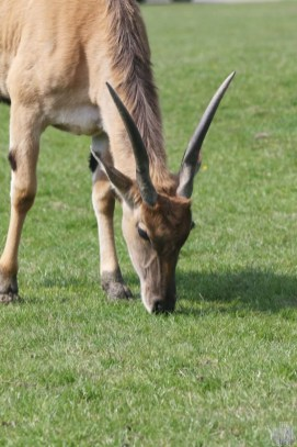 Common Eland at Woburn Safari Park