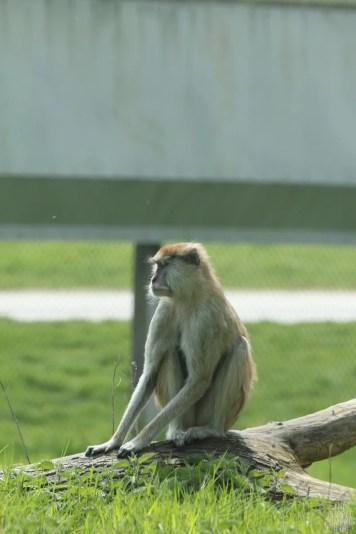 Patas Monkey - Woburn Safari Park