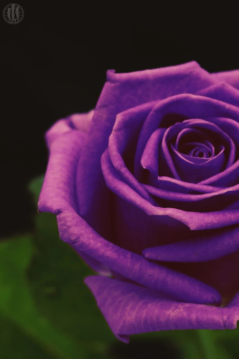 Project 365 - 2017 - Day 123 - Purple Rose