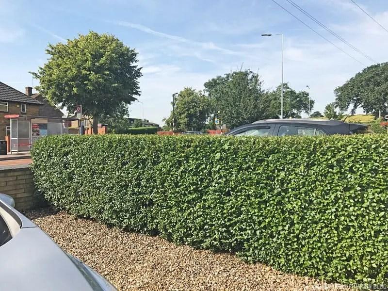 Cut hedge