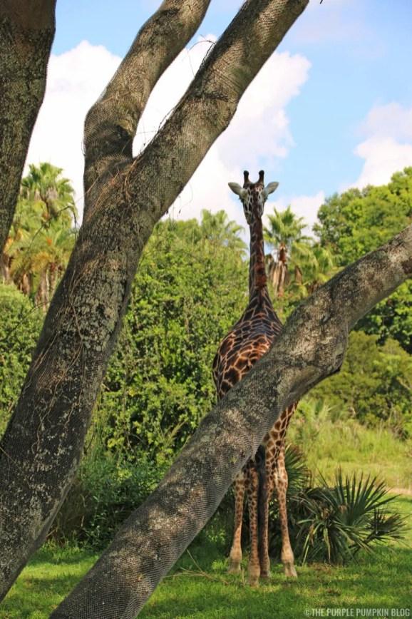Kilimanjaro Safaris - Animal Kingdom - Giraffe