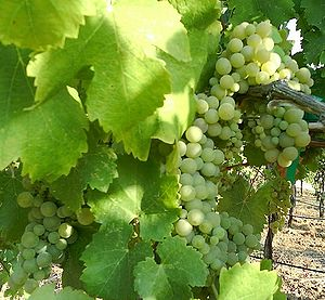 English: Viognier grapes ripening on a vine in...
