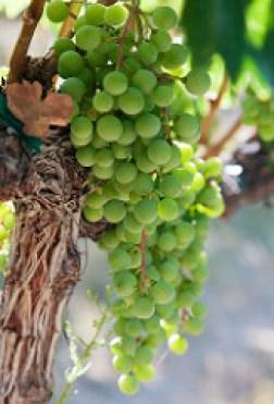 Chardonnay Grapes @ Chelan Estates Winery