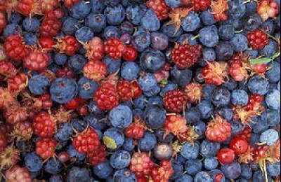 Alaska wild berries from the Innoko N...