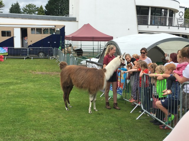 Llama at The Big Welsh Bite 2017 food festival in Ynysangharad Park, Pontypridd, Rhondda