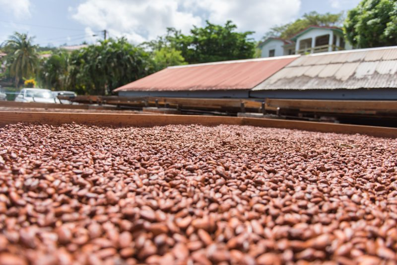 Cocoa beans drying out in the sun in Grenada