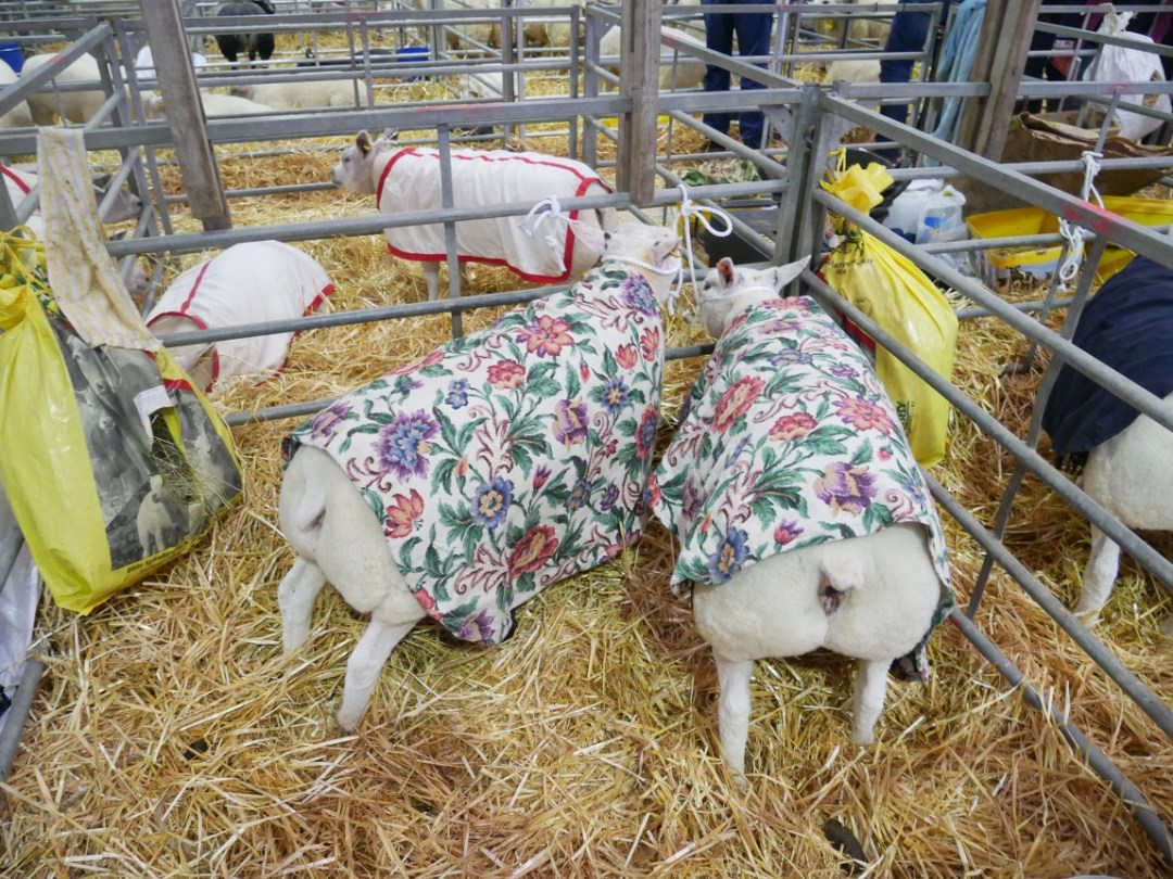 Two sheep wearing identical floral coats