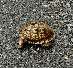 Turtle, terrapin, box turtle, reptile, pavement, retracted, rain, rainy day, shell, hiding, wet