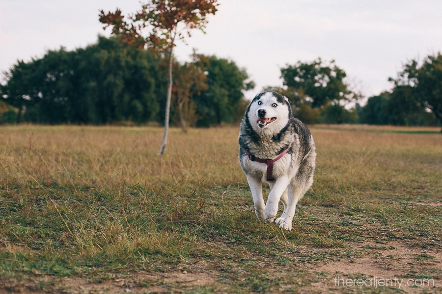huskies-at-the-park-013