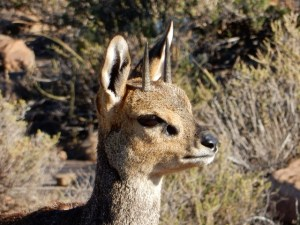 Klipspringer on Klipspringer pass