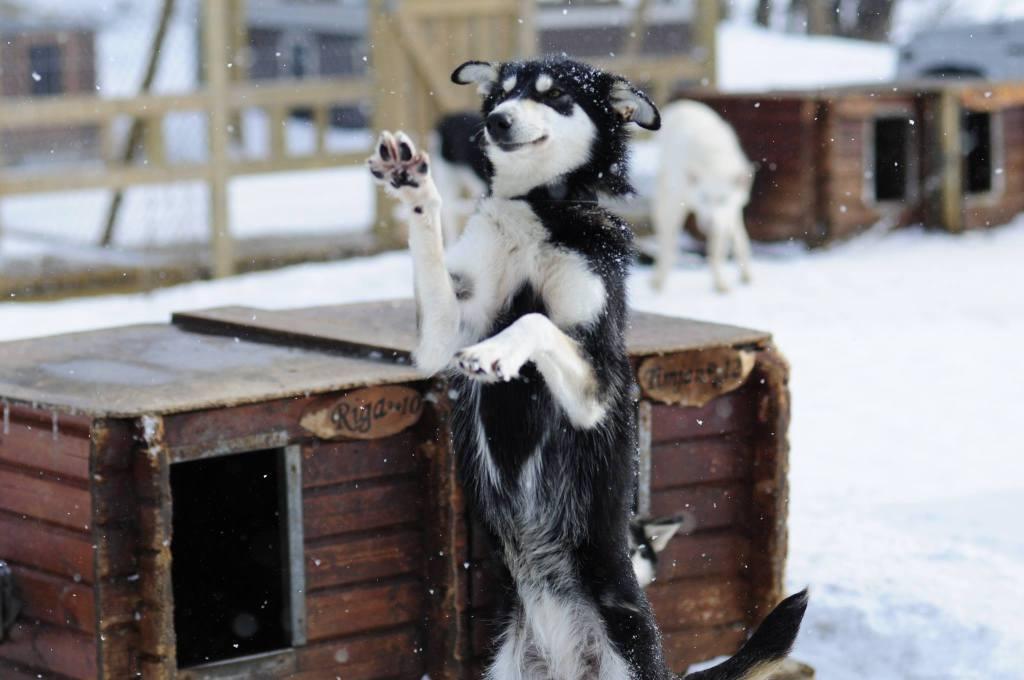 friendly huskies 3