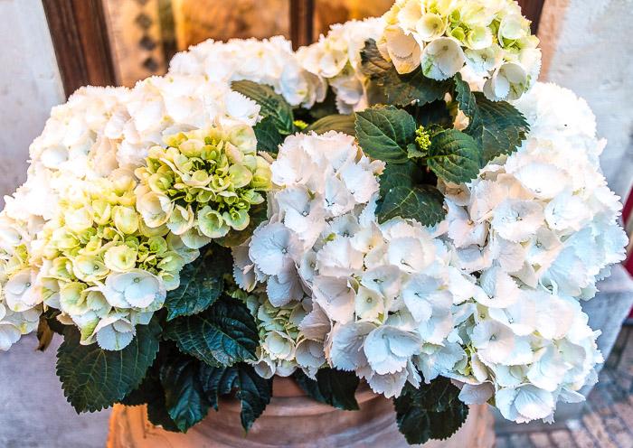 Hydrangeas at Hotel Timeo Taormina Sicily