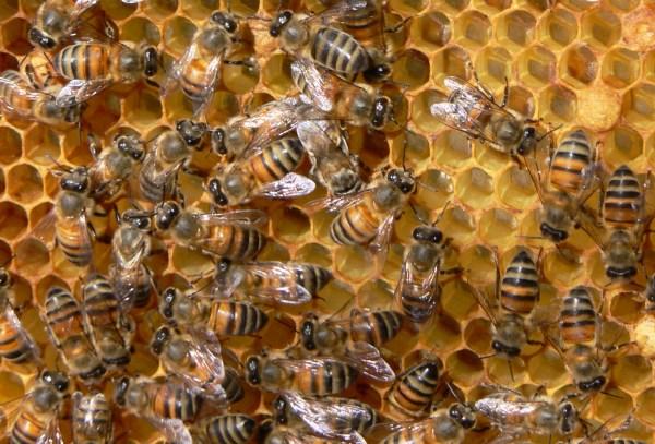 bees.cipamericas