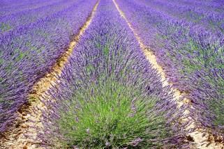 lavender-1595490_1280