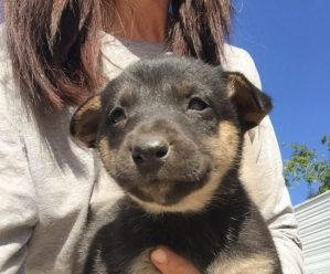 6 week old German Shepherd Puppy Female