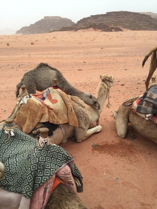 Baby Camel - Wadu Rum