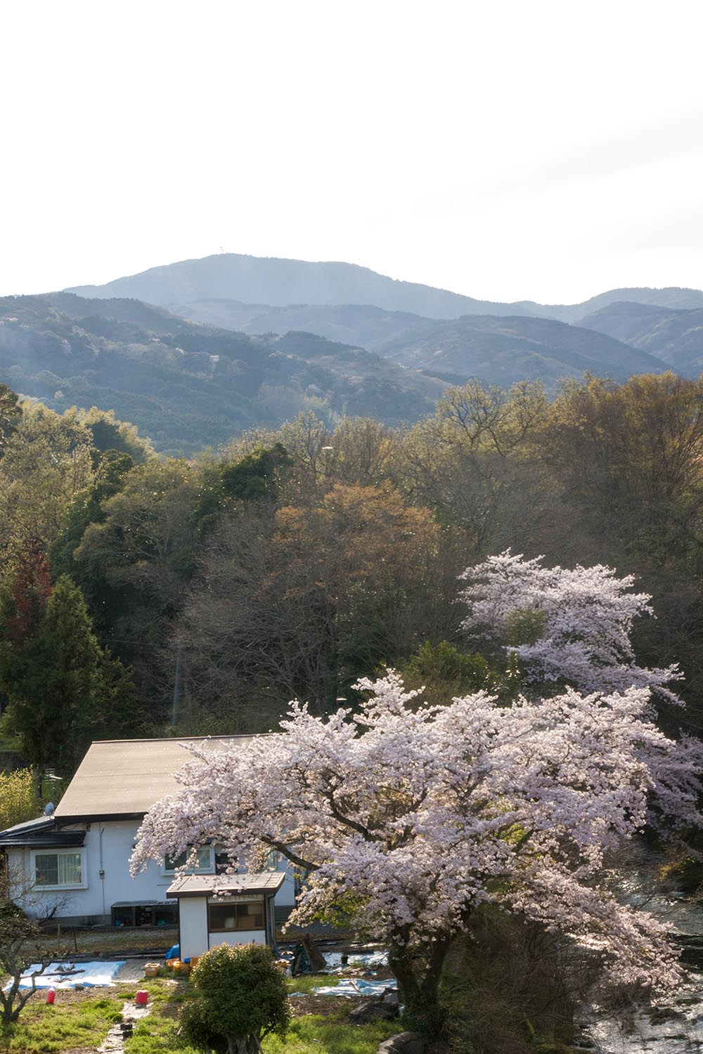 mountains and cherry blossoms