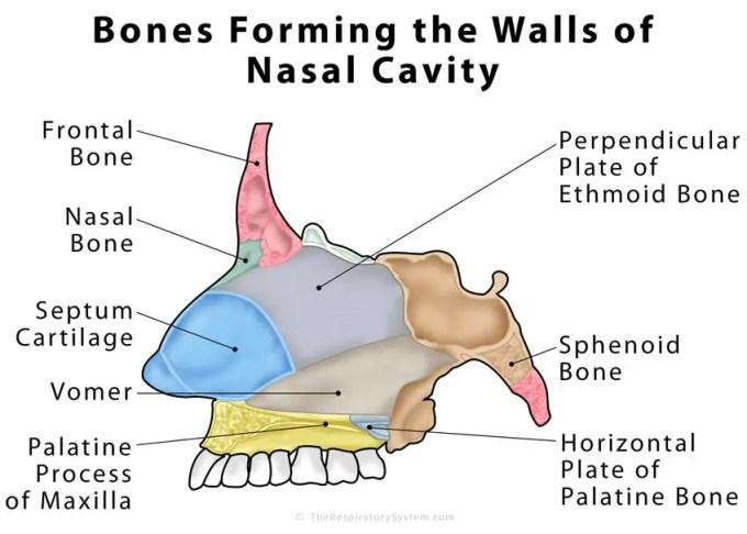 Bony Floor Of Nasal Cavity | Wikizie.co