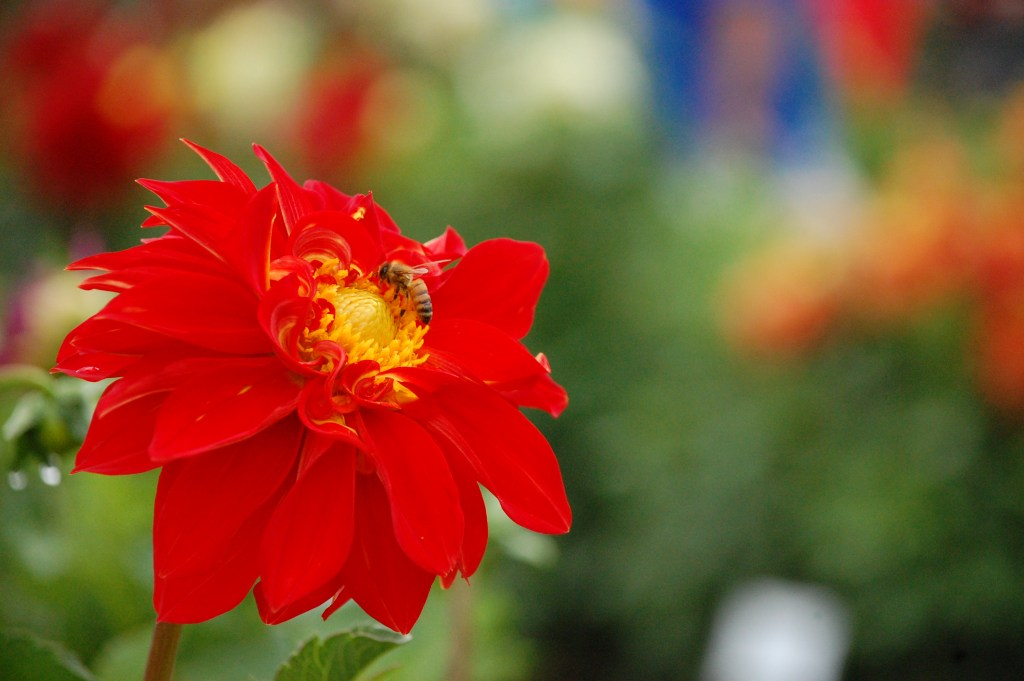 Swan Island Dahlia Festival | Canby, Oregon | theringers.co
