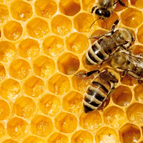 The Buzz Proteomics And Honey Bee Embryogenesis